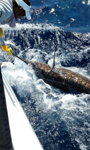 Quepos FAD fishing: releasing marlin