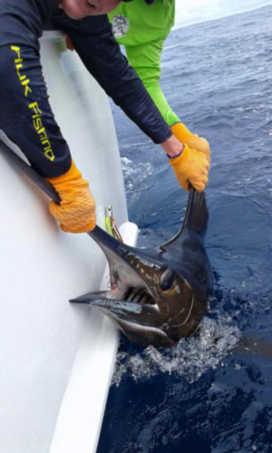 Quepos FAD fishing: caught marlin close up