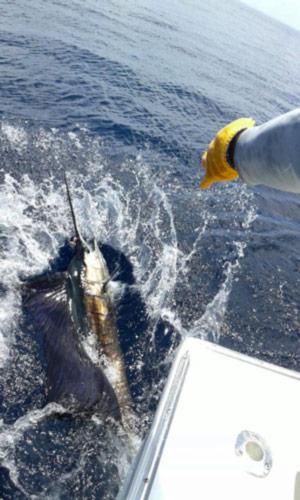 Quepos FAD fishing: releasing sailfish