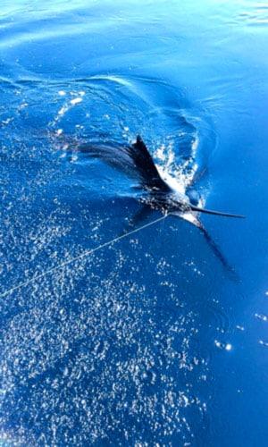 Quepos FAD fishing: Quepos Offshore Fishing: sailfish