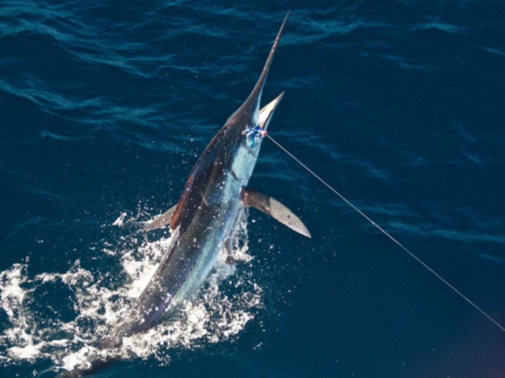 Hooked Marlin - Marlin Fishing Costa Rica - My First Billfish on Fly