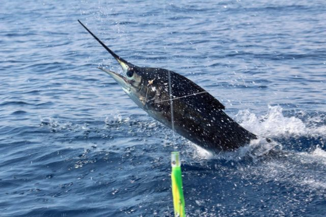 If hooking one of these guys is on your bucket list, you're in the right place. 🎣  Book your next charter with us and experience the thrill of fishing off Costa Rica's vibrant coastline. 🌊  #caribseasportfishing #catchofthefay #costaricafishing #fishingvacation #marinapezvela